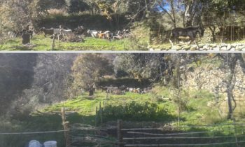 tinos ecolodge goat attack